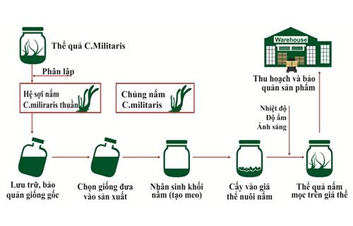 mô hình nuôi đông trùng hạ thảo